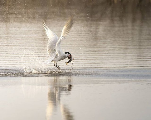 A Meal for a Tern