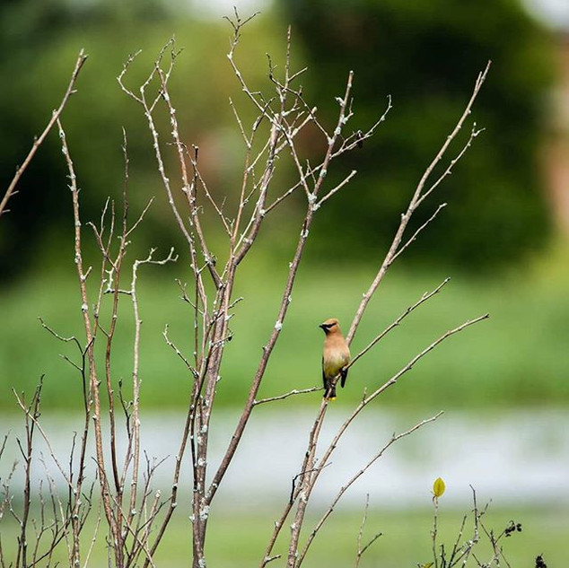 The Cedar Waxwing. I couldn't resist tak