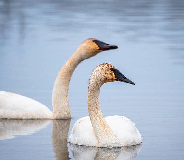 A pair of trumpeter swan hanging around