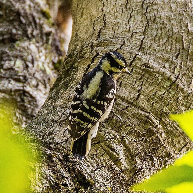 A Downy Woodpecker flew right above me a