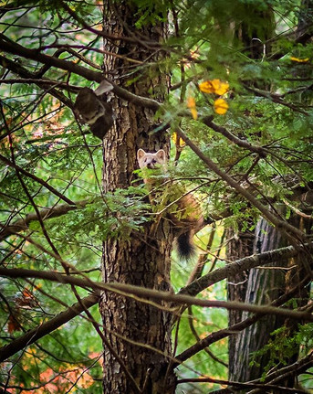 Pine Marten Looking Out