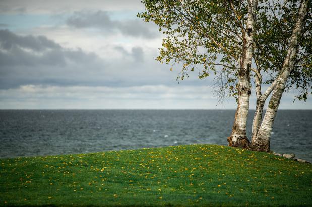 Birch Overlooking Lake Michigan