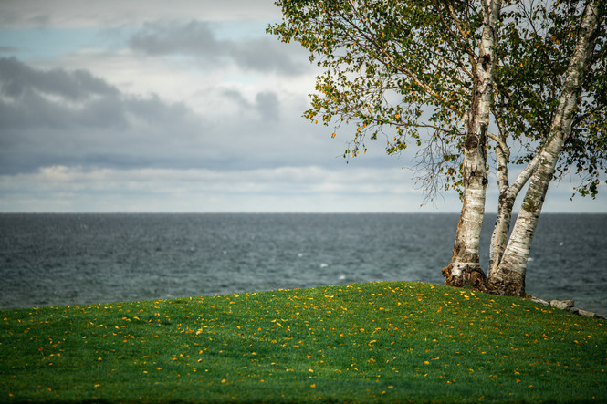 Birch Overlooking Lake Michigan
