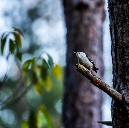 Nuthatch in the Pines