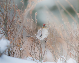 Redpoll in the Depths of Winter