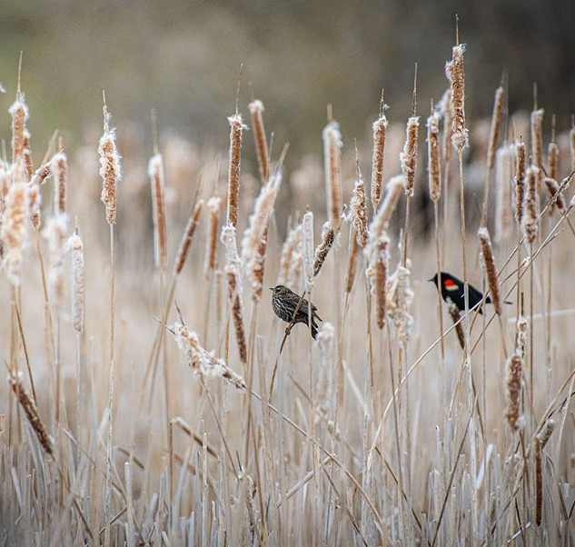 Male and female red-winged blackbirds ch