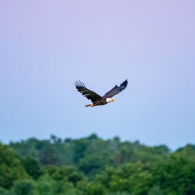 A Bald Eagle soars out from the nest and