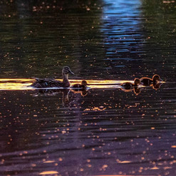 Ducklings in the Morning