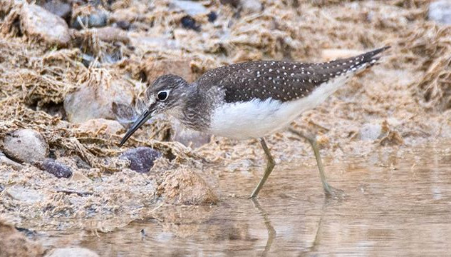 It was kind of cool to see a Sandpiper f