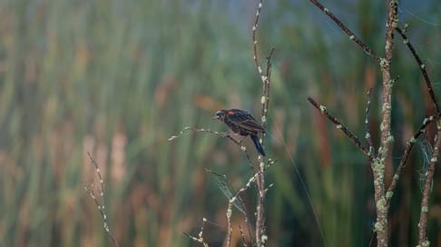 Blackbird Eternal
