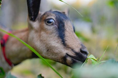 Goats-9.jpg