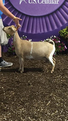 """Nigerian Dwarf Goat """"Snickers"""" from WaterFront Creations LLC"""