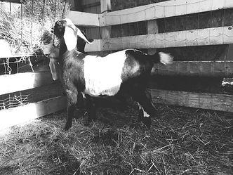"Nubian Goat ""Jazz"" WaterFront Creations"
