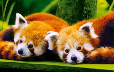 Branféré-Panda-roux©Branféré.jpg