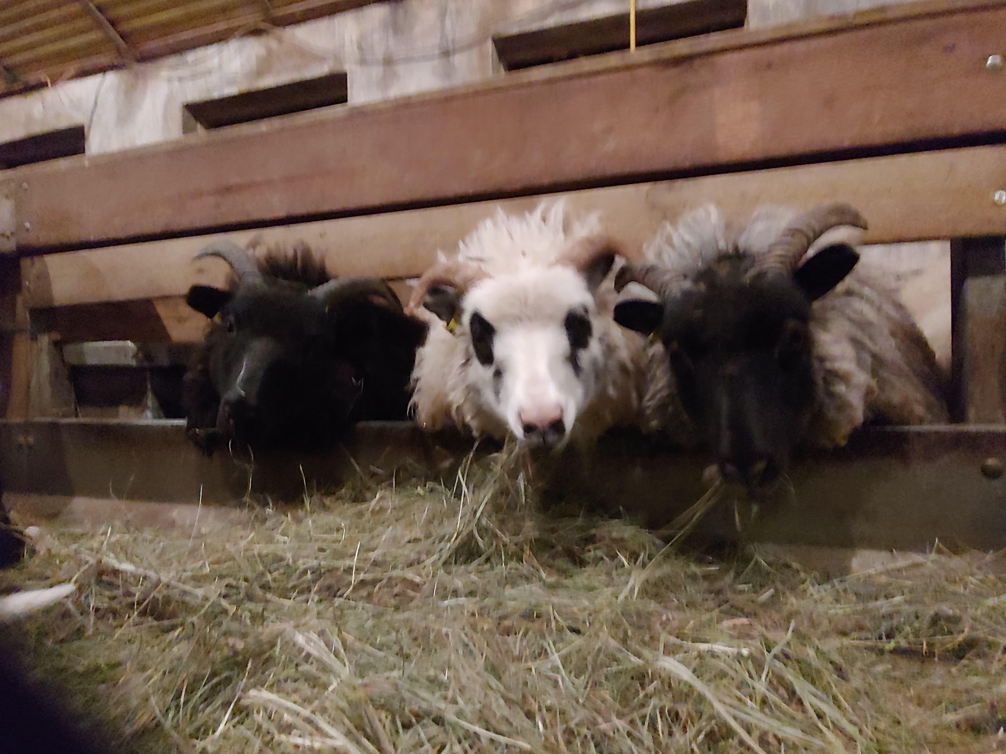 Our sheep at Prestshús