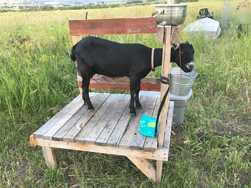 Pallet Milking Stand