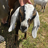Mini Nubian baby goat with moonspots