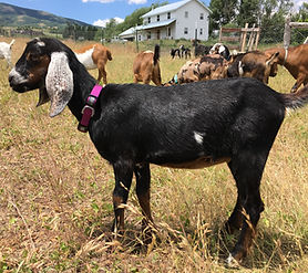 Mini Nubian Dairy Goat