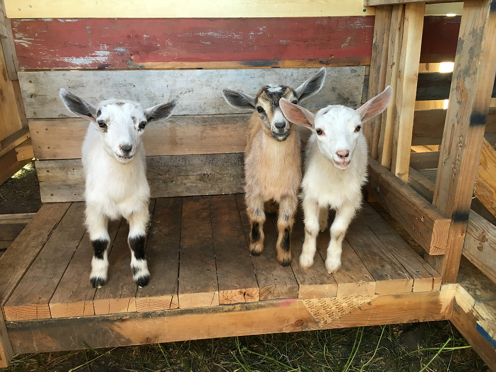 Pallet Goat stanchion