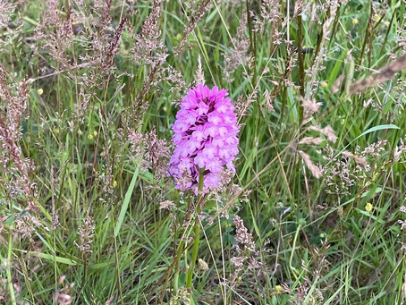 East Sussex farmer finds Pyramidal Orchid