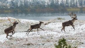 Reindeer Agility