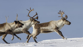 Reindeer Training