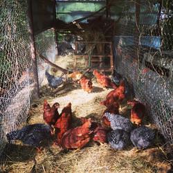 Hens in the Light