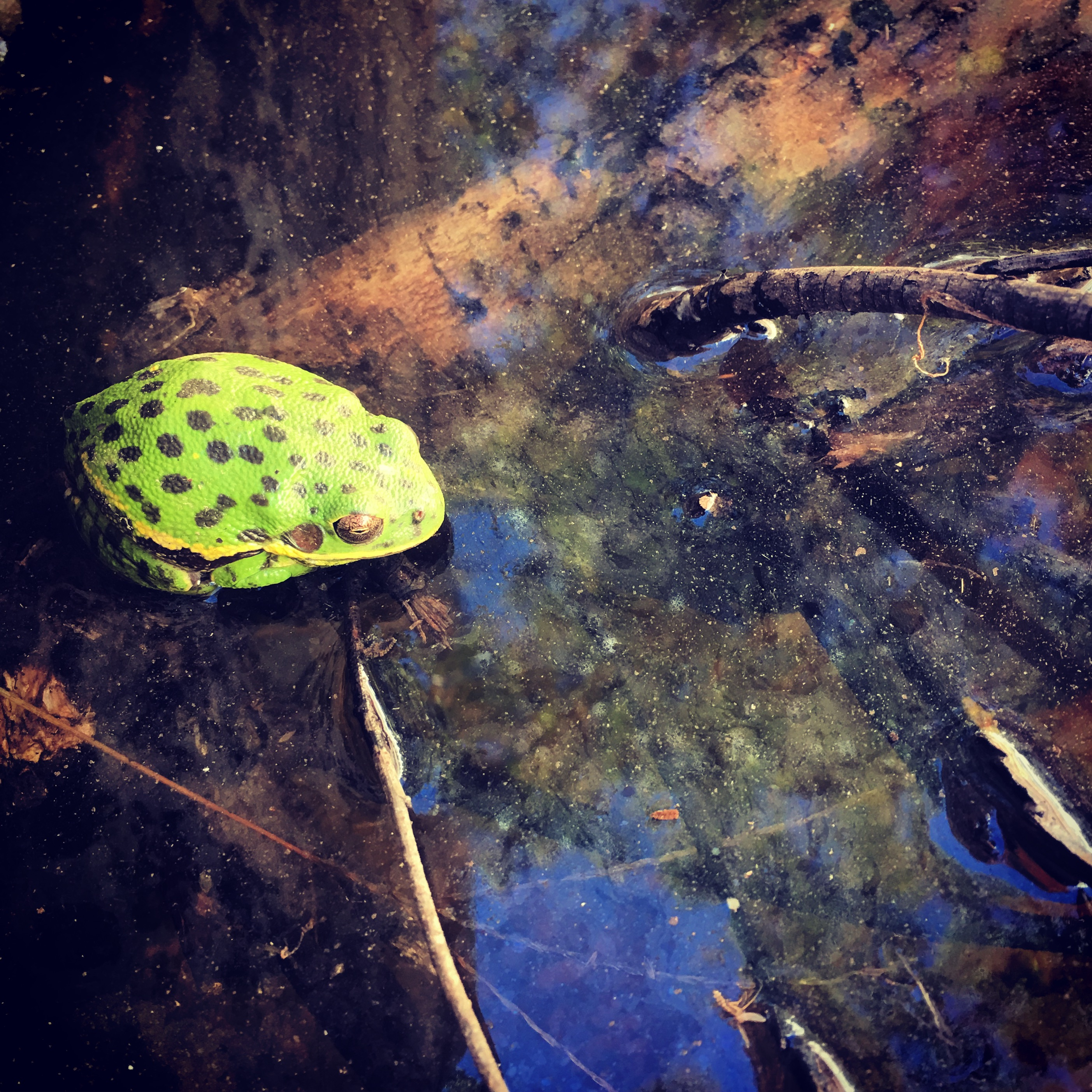 Dreaming Frog