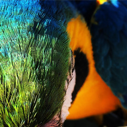 Blue & Gold Macaw Life 1