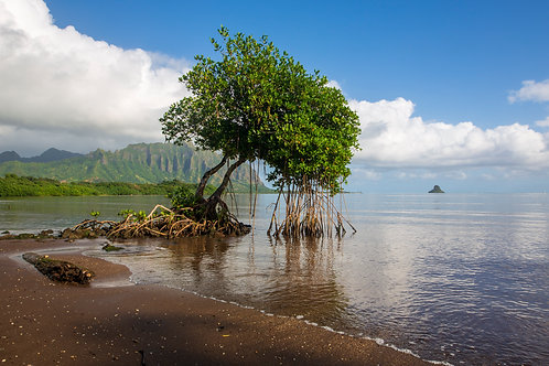 Hawaiian mangrove