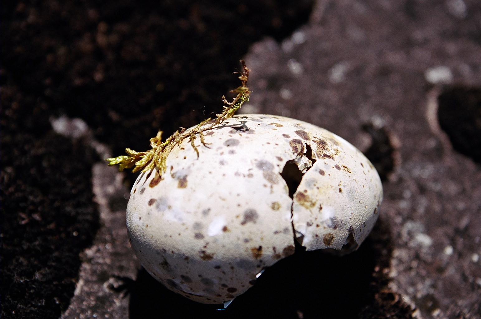 Gull Egg - Lake Superior