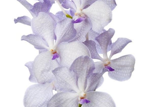 vanda lavender