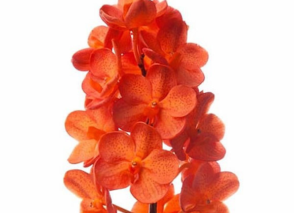 Vanda mandarin
