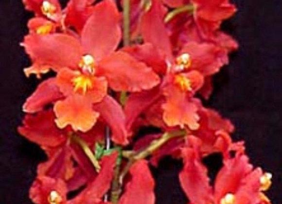 Oncidium red