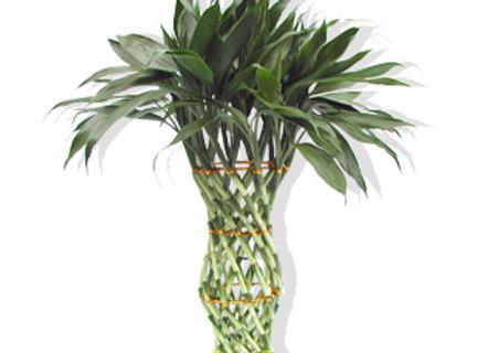 Dracaena vase shape