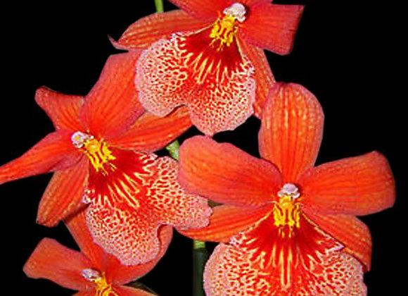 Oncidium Orange