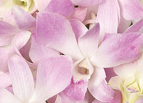 Dendrobium Mistine