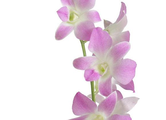 Dendrobium Sakura.jpg