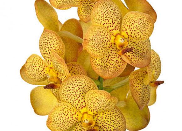 Vanda yellow