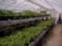 greenhouse tomatoes - 100 varieties.jpg