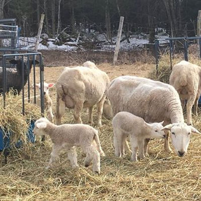 mason's photo of lambs 2018.jpg