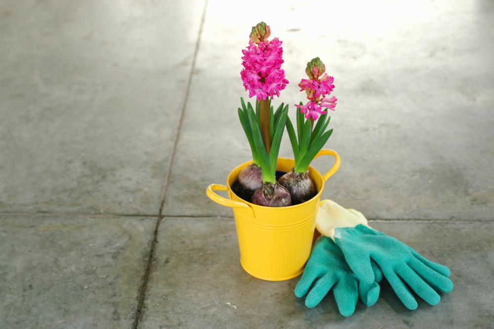 Pink Hyacinth Bulbs in a pot