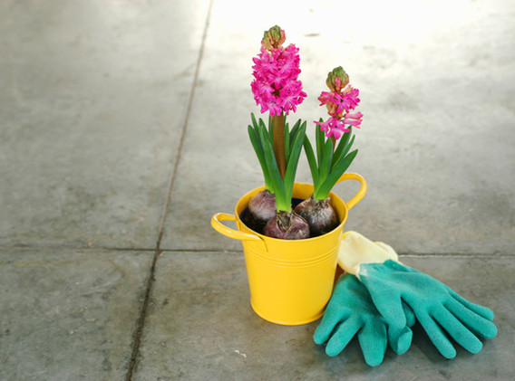 Pink Hyacinth Bulbs in a pot