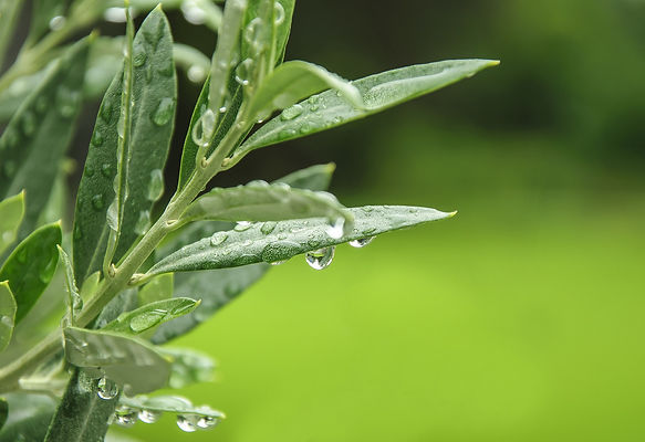 IFF's Olive Leaf Extract Now Non-GMO Pro