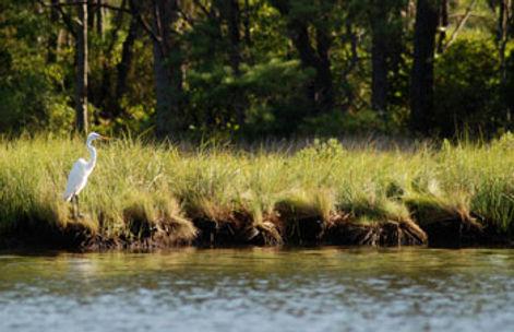 Egret-in-grasses.jpg