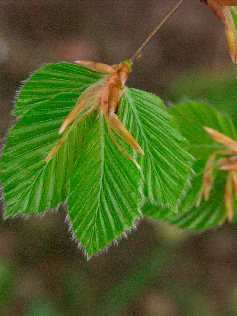 Beech leaves - on the first day they unfurled