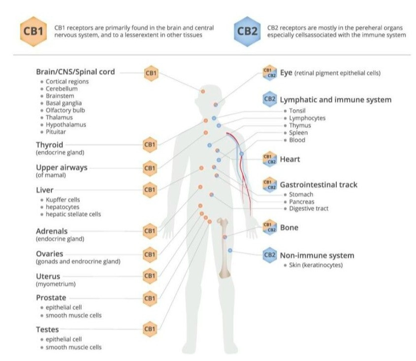 Cannabanoids affect so many problems because they are found extensively throughout so many organ systems and affect so many body functions.