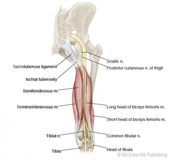Course of the Sciatic Nerve