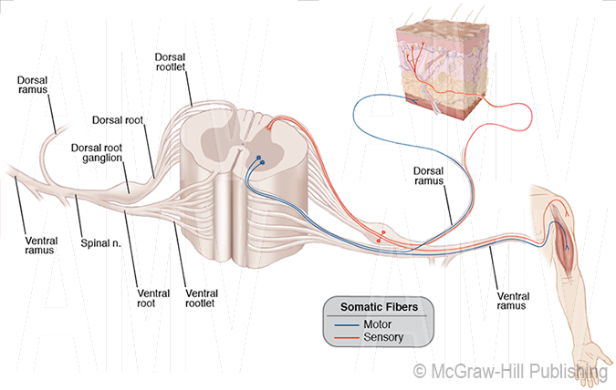Typical Spinal Nerve Pathways