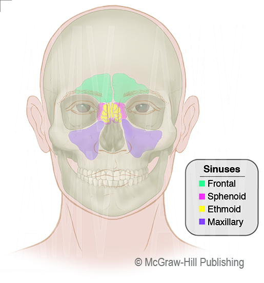Overview of the Paranasal Sinuses